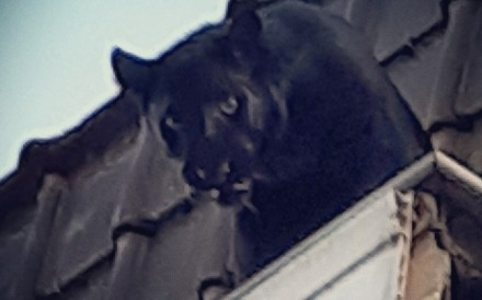 The panther looks down from a building's guttering. Photo: AFP