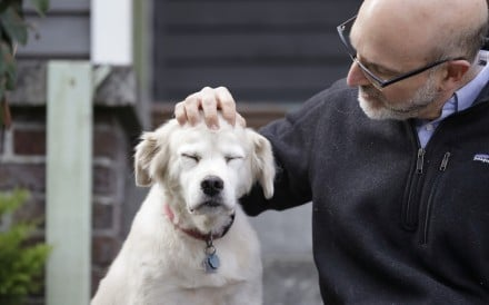 University of Washington School of Medicine researcher Daniel Promislow, the principal investigator of the Dog ageing Project grant, rubs the head of his elderly dog Frisbee at their home in Seattle on Monday. Photo: AP