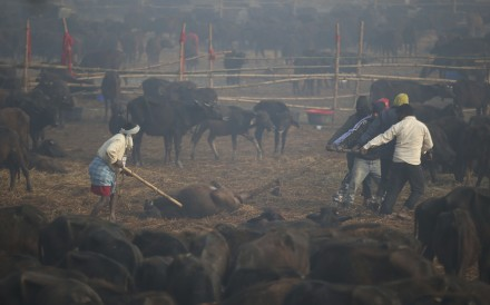 Volunteers move a dead buffalo as others are kept in holding pens before being sacrificed during the Gadhimai festival in Bariyarpur in Bara district, Nepal. Photo: AP