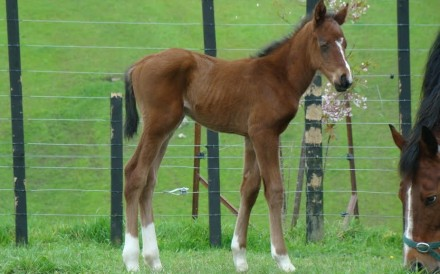 Beauty Generation as a foal in New Zealand. Photo: Highden Park