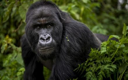 A mountain gorilla encounter got Jan Latta writing about endangered animals. Photo: AP