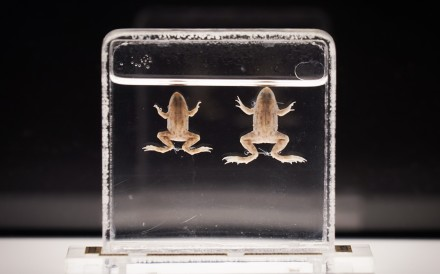 """The Floating Frog, a species now extinct in Hong Kong, prepared by Father Anthony Bogadek, for the """"Ecology In The Making"""" exhibition at Lung Fu Shan Environmental Education Centre. Photo: Ecology in the Making – A History of Amateur Naturalists in Hong Kong exhibition"""