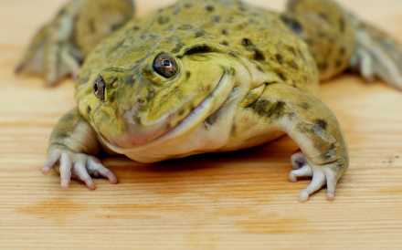 Eating fatty frog tissue is associated with younger-looking skin. Photo: Getty Images