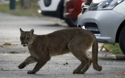 A puma on the streets of Chile's capital Santiago on March 24. Photo: AFP