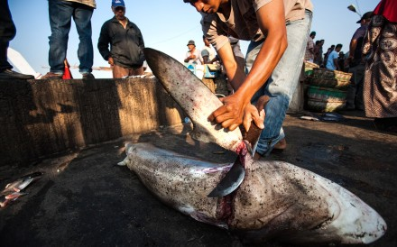 A fisherman cuts the fin of a shark in a fish market in Banda Aceh, Indonesia, in 2013. Photo: AFP
