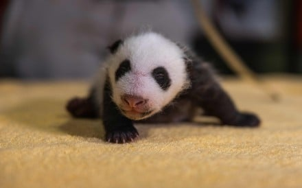 The Smithsonian's National Zoo's six-week-old giant panda cub had its first veterinary exam last month. Photo: Roshan Patel/Smithsonian's National Zoo handout via AFP