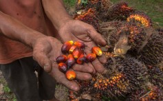 An Indonesian palm oil farmer with his product. Photo: AFP