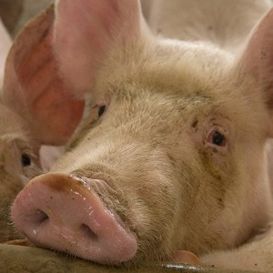 China pork crisis