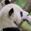 The first episode of Hidden Kingdoms of China, a Bilibili co-production with National Geographic, featured pandas in their natural habitat. The Chinese video sharing platform is hoping content like this will help it become China's Netflix. Photo: National Geographic/ Jacky Poon