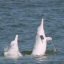 Rare pink dolphins are returning to Hong Kong waters. Photo: Handout.