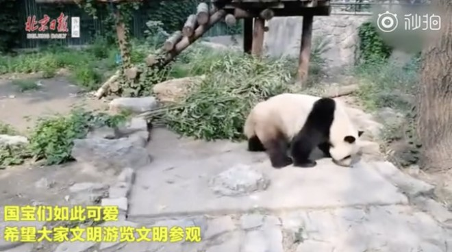 Zoo to beef up security after visitors threw stones to 'wake the panda'