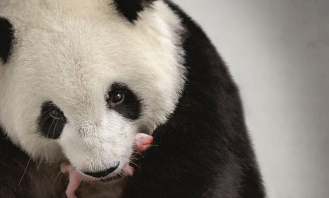 Chinese 'have the last word' on naming of panda cubs, German zoo says