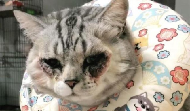 A Chinese cat was forced through cosmetic surgery  Or was it? - Inkstone