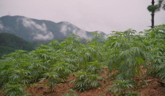 A cannabis farm that supplies dried leaves to Pan Zongbing's CBD factories.