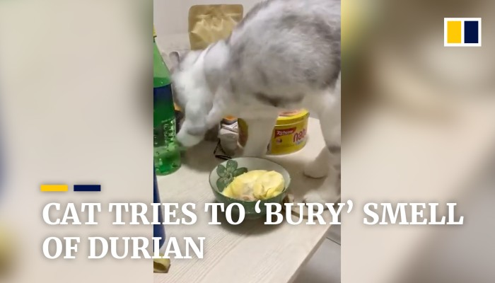 Cat tries to 'bury' smell of durian | South China Morning Post