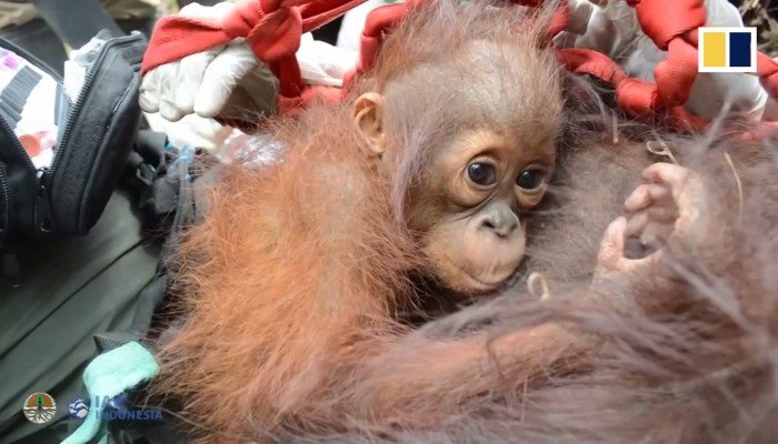 Orangutans relocated after Indonesian fires