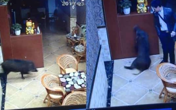 The boar was filmed by surveillance cameras wandering around the karaoke parlour. Photo: Weibo