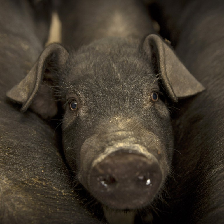 """UBS economist Paul Donovan's """"Chinese pig"""" comment to explain the outbreak African swine fever set off a firestorm on Chinese social media. Photo: AP Photo"""