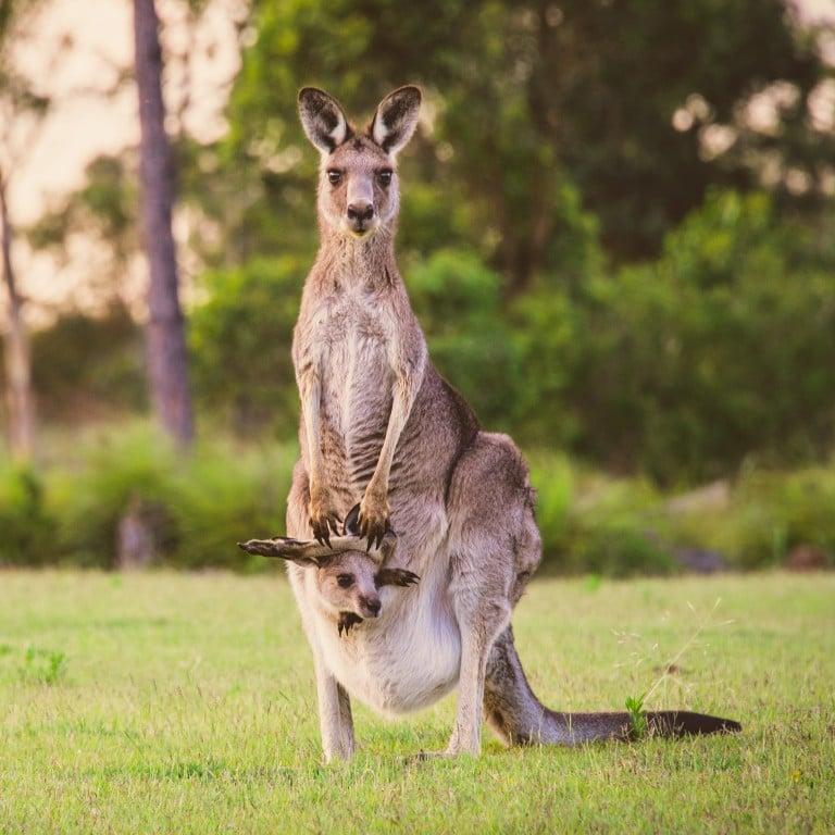 Twenty kangaroos killed in Australian 'hit-and-run spree' | South ...
