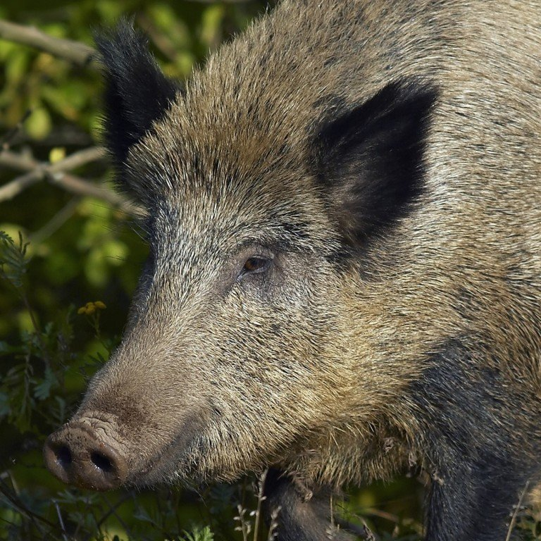 texas woman killed by hogs