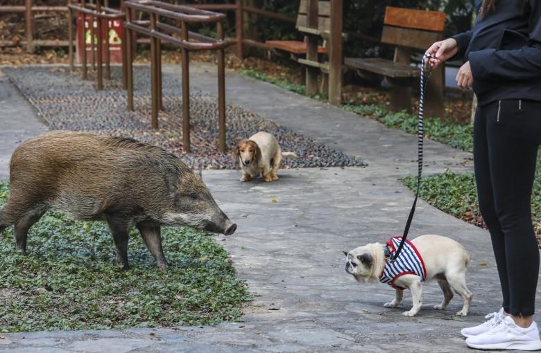 Hong Kong's boar wars