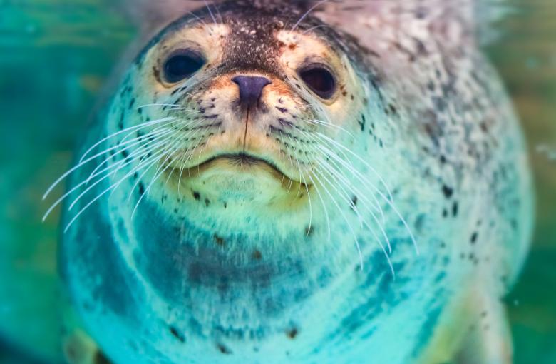 100 baby seals stolen for aquariums
