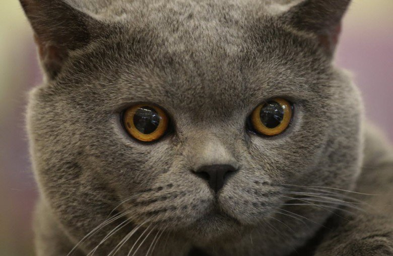 A Chinese cat was forced through cosmetic surgery. Or was it?