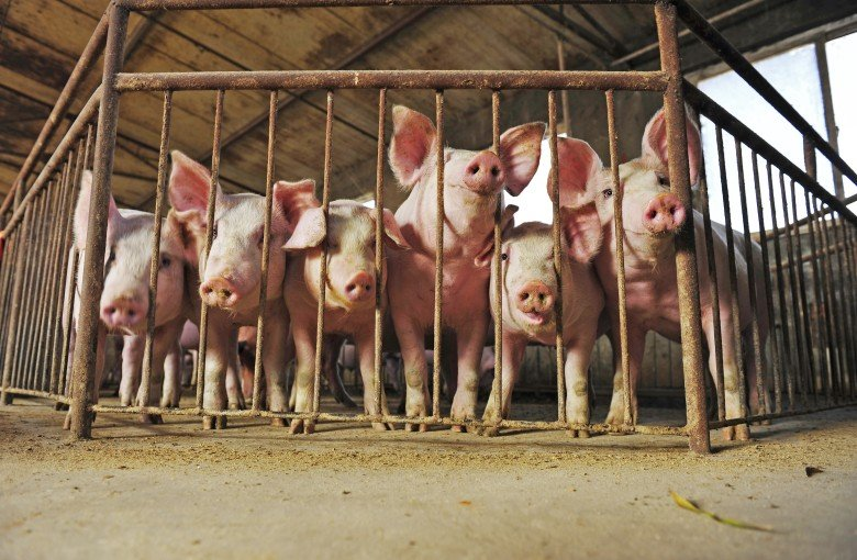 What is China going to do with millions of dead pigs?
