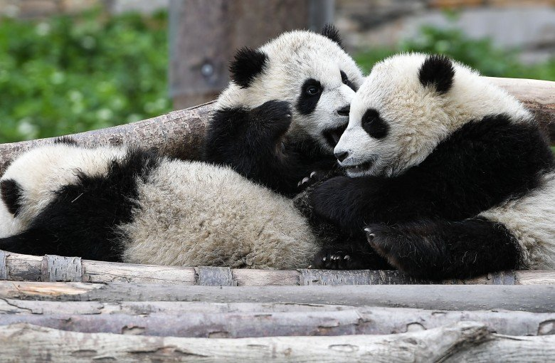 You can now tell pandas apart – with facial recognition