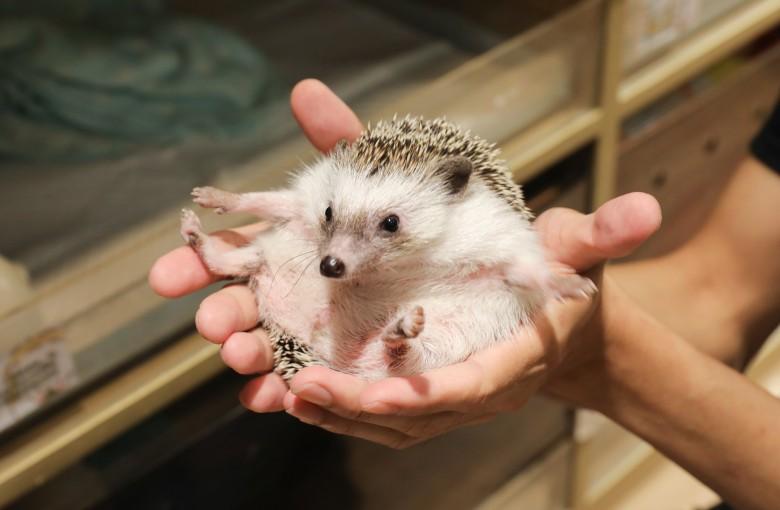 Get prickly at Hong Kong's first hedgehog cafe