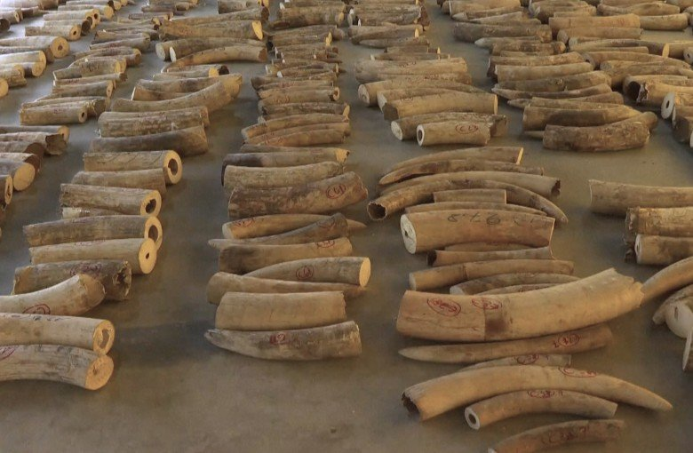 In record haul, Singapore seizes tusks from 300 elephants