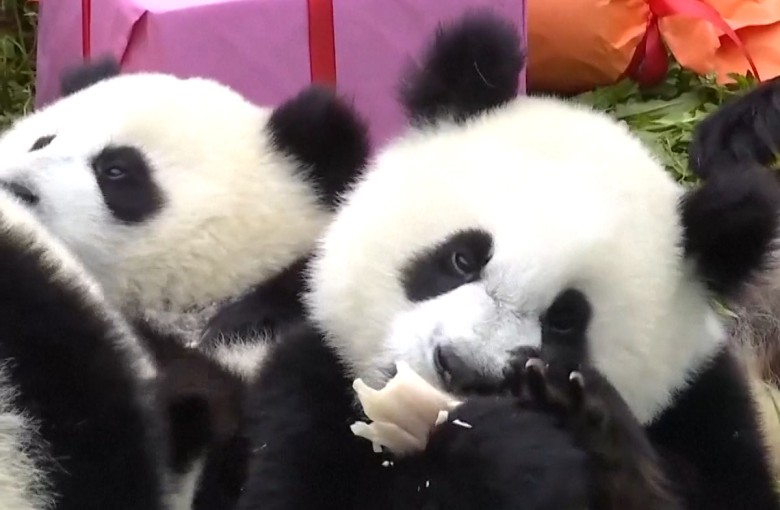 Party for 18 baby pandas