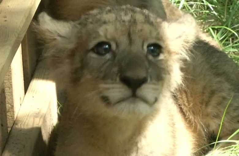 Twin lion babies in China turn two months old