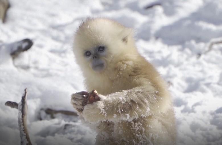 China's golden snub-nosed  monkey on rebound