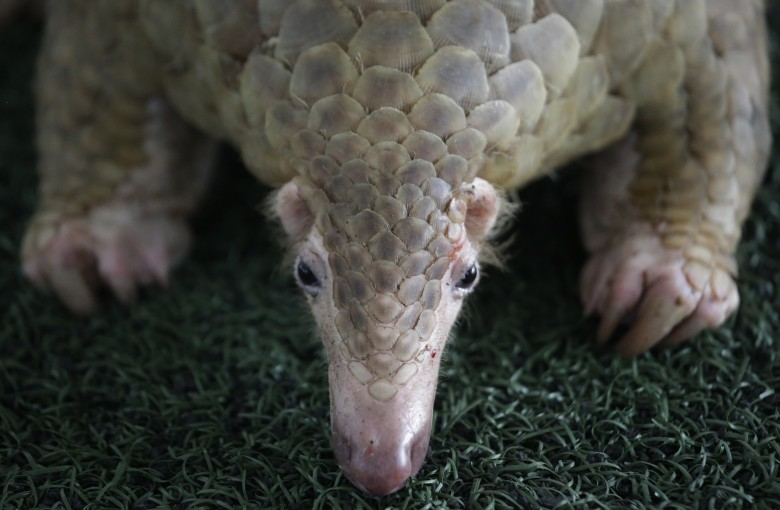 Illegal wildlife traders evade consequences as pangolins face extinction