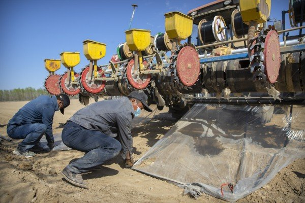 Workers tie down plastic sheeting during planting of a cotton field near Urumqi in Xinjiang. Photo: AP