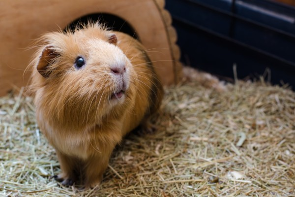 Pet Paing 101 Guinea Pigs Are Cute, How Much Is Bedding For A Guinea Pig