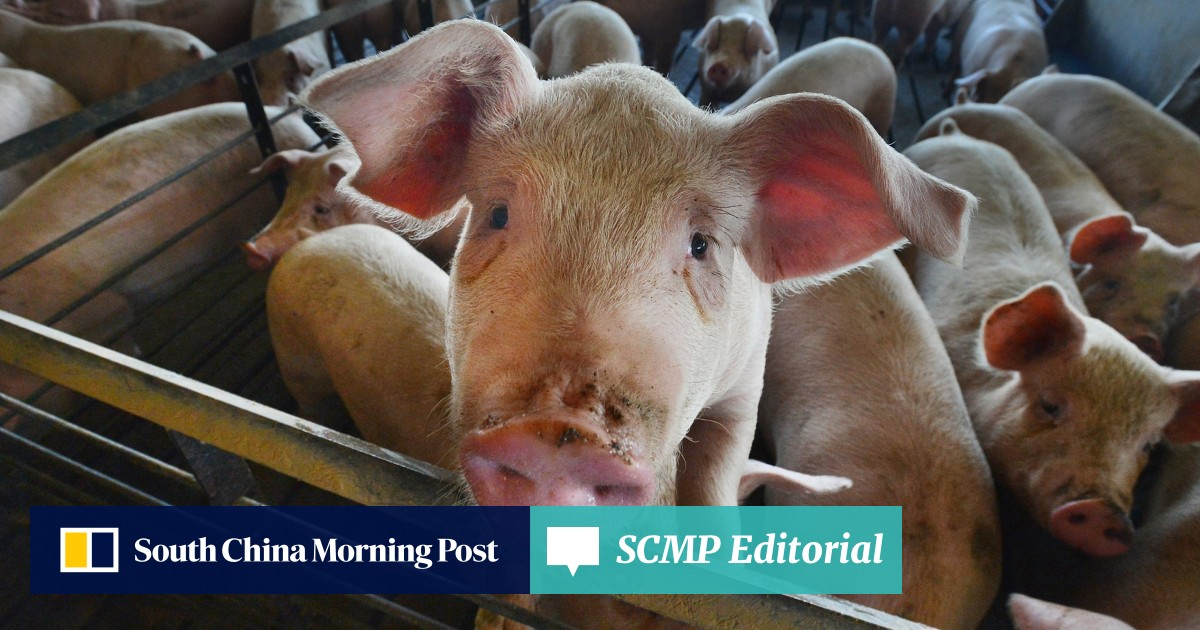Pig disease exposes weakness in system | South China Morning