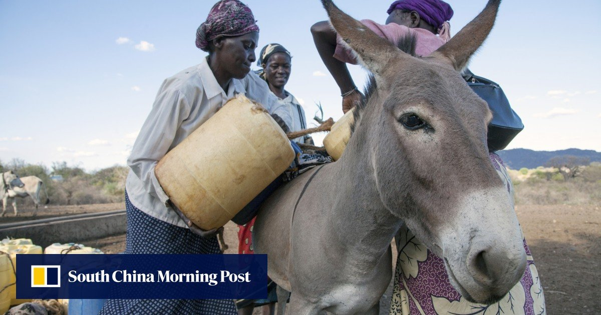 Chinese medicine ejiao has left the world's donkey population in crisis, British study finds