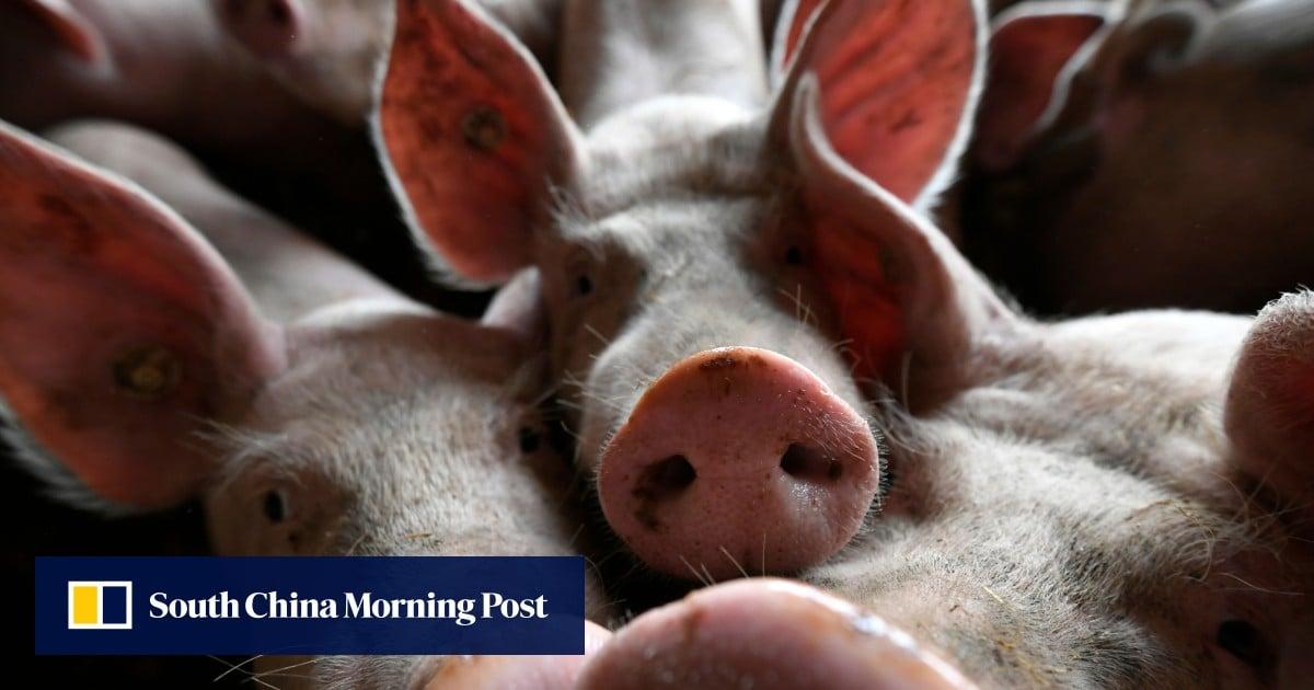 Chinese criminal gangs spreading swine fever to exploit crisis