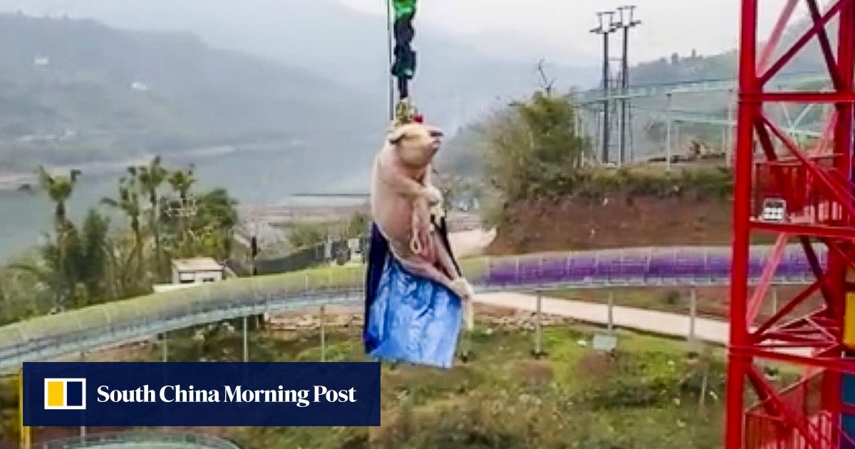 Chinese theme park's bungee-jumping pig stunt sparks anger online