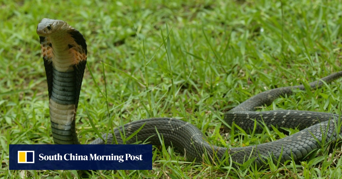 Indian man accused of using cobra to kill wife – after failing with a viper
