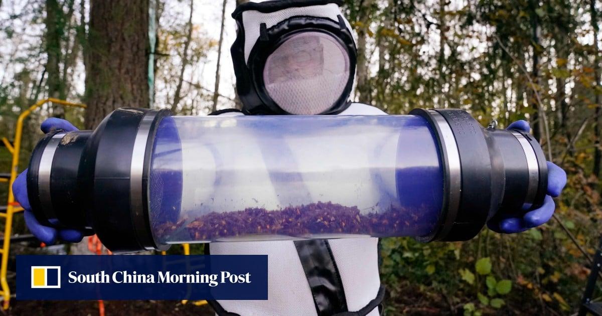 First ever US nest of Asian 'murder hornets' destroyed