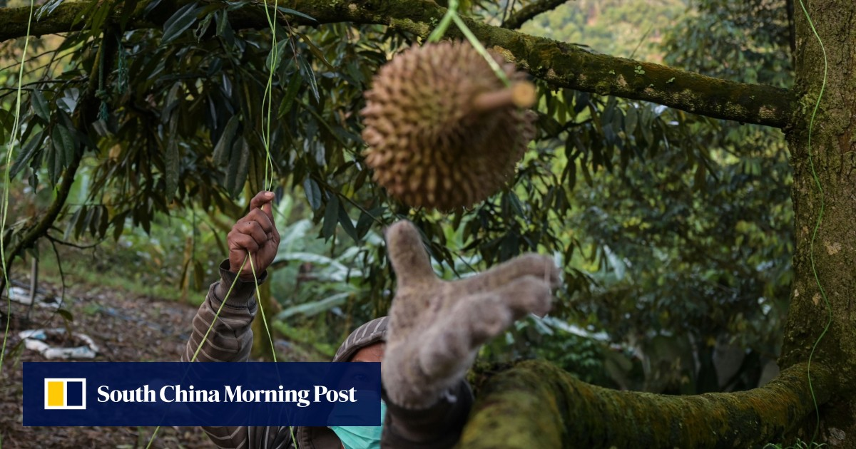 Penang durian season will arrive late this year but harvest tipped to be high quality
