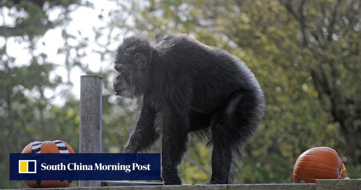 Cobby, oldest male chimpanzee in the US, dies at San Francisco Zoo aged 63