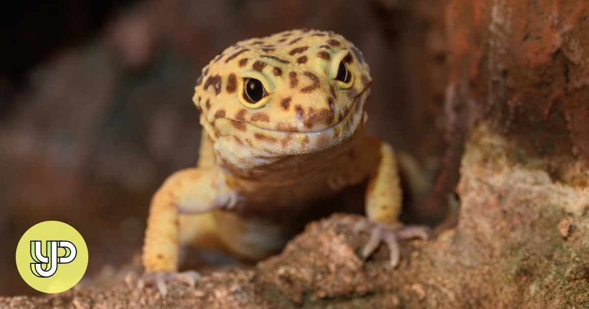 Pet Parenting 101 Why The Leopard Gecko Is The Perfect Lizard For Beginners Yp South China Morning Post