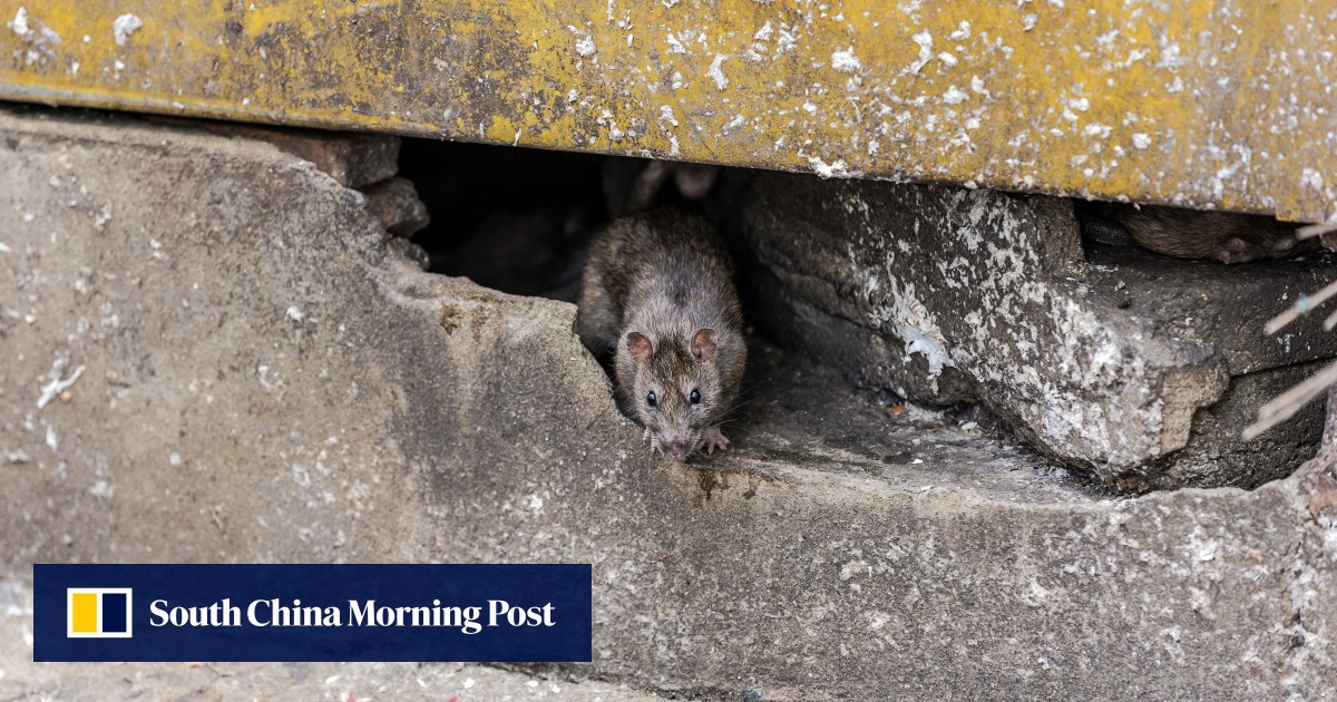 Hong Kong health authorities find three new cases of rat