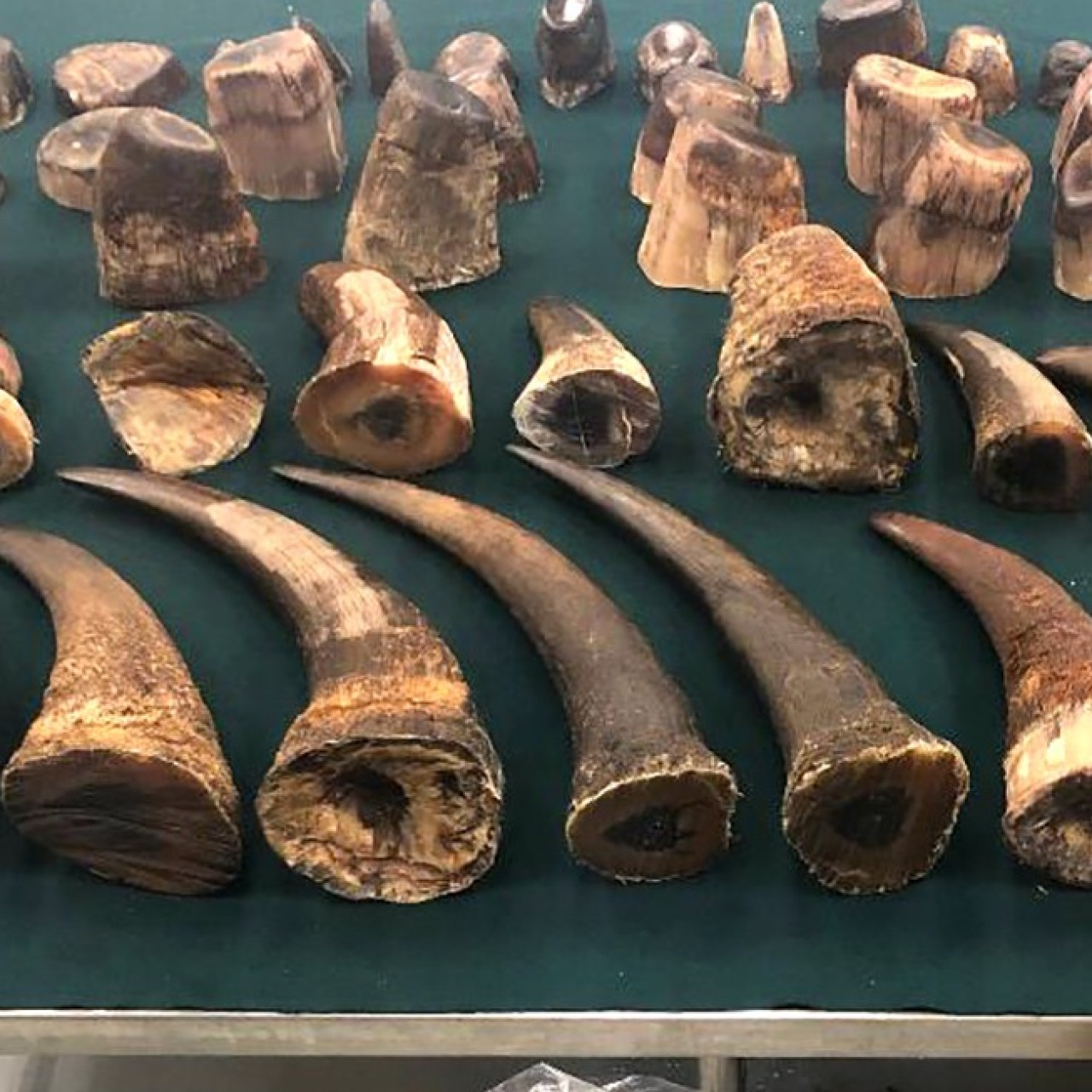 Customs seizes HK$16 5 million record haul of rhino horns in