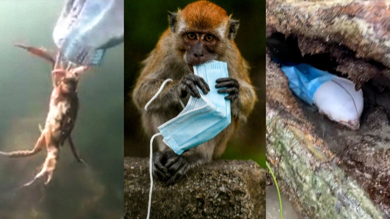 From macaques to crabs, wildlife face threat of masks discarded during Covid-19 pandemic